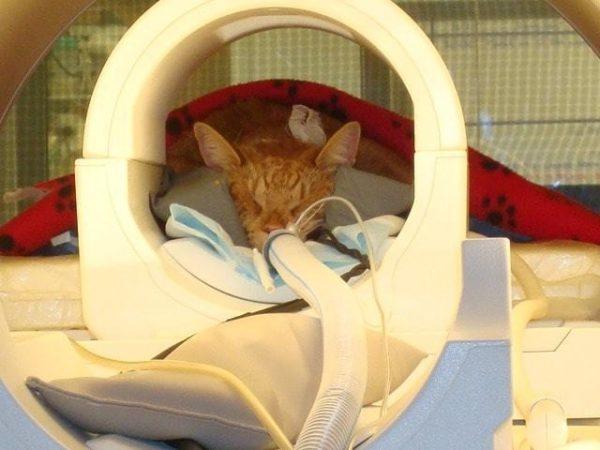 МРТ кошкам проводят под наркозом