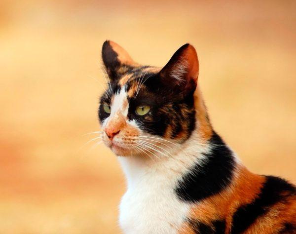 Черепаховая кошка с очень яркими оттенками шерсти