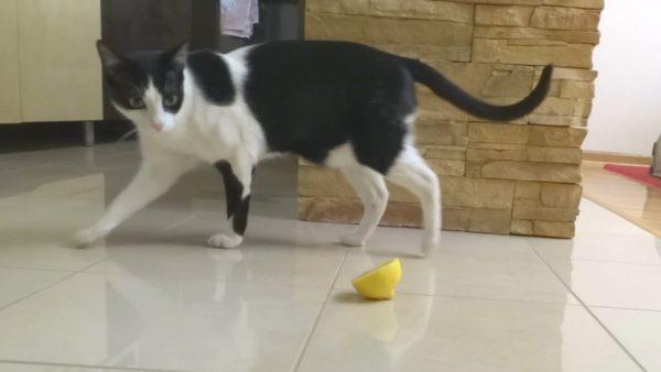 Многие кошки испытывают отвращение к запаху цитрусовых