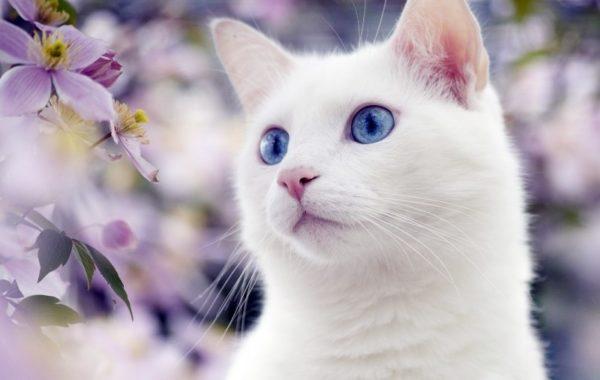 Као мани – древнейший представитель белых кошек