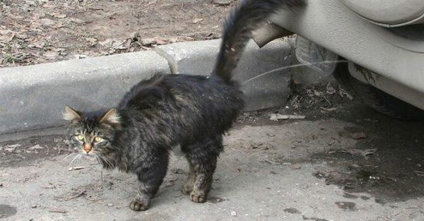 Кот метит, чтобы отпугнуть конкурентов и привлечь партнёршу