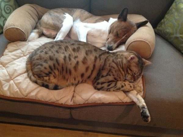 Басенджи неплохо уживаются с кошками, особенно если они знакомы с малых лет
