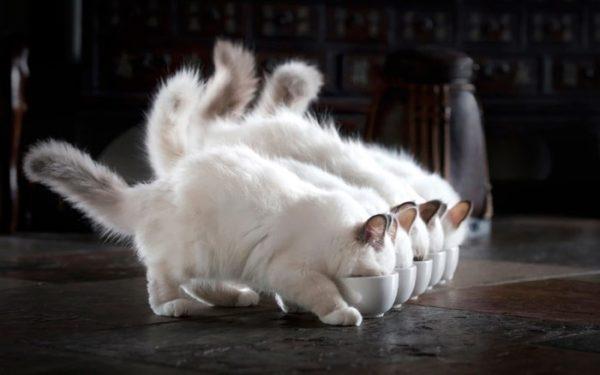 Котёнка нужно кормить правильно и сбалансировано, с момента, как он перестанет сосать мать