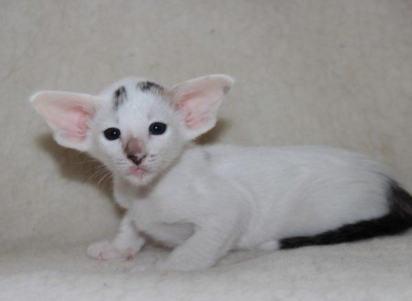 Котёнок ориентальной кошки в цветовом типе «ван»