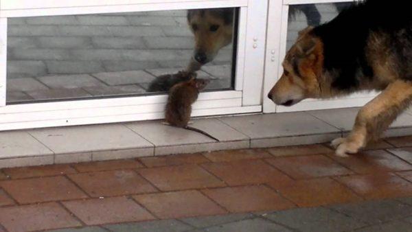 Грызуны очень опасны для домашних животных