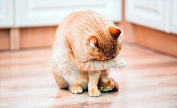 При первых астматических приступах животное нужно показывать ветеринарному врачу