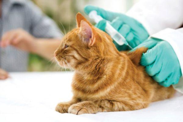 Кошки переносят уколы Байтрила не очень хорошо
