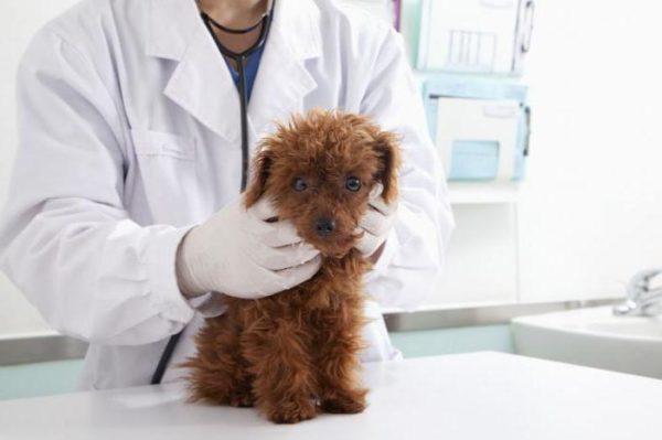 Точная дозировка препарата рассчитывается исключительно ветеринарным врачом, и если вы хотите не навредить, а помочь вашему питомцу, постарайтесь не назначать ему лечение самостоятельно