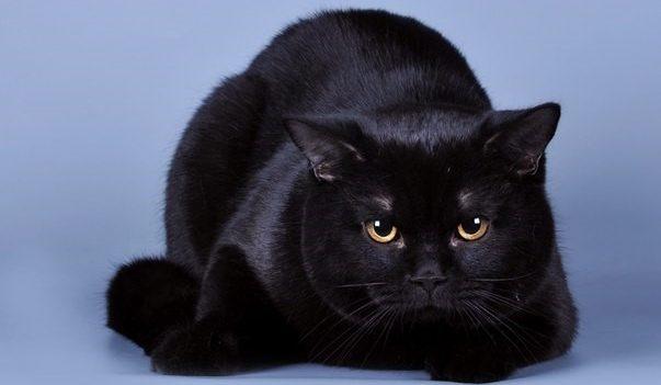 Черный вислоухий шотландец фото