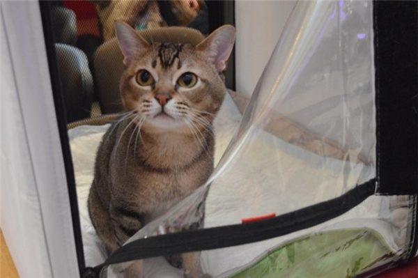 Кошка породы азиатская табби на выставке