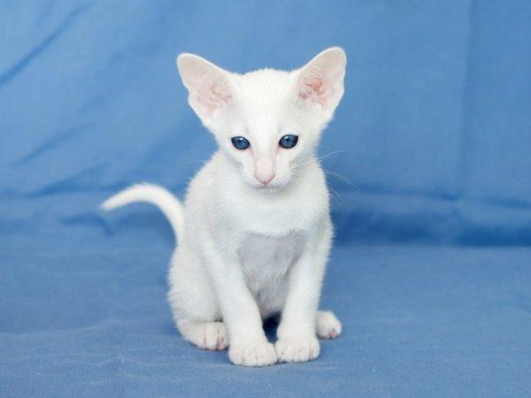 Котёнок породы форин вайт