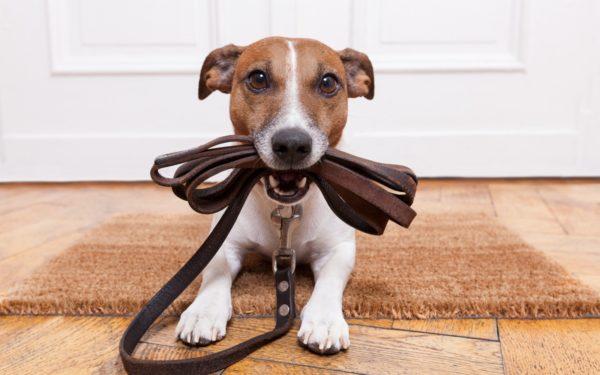 Активность и упорство этих собак могут сыграть с вами злую шутку