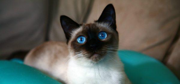 У сиамских кошек потрясающей красоты синие глаза, но окрас далёк от белоснежного