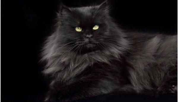 Чёрная сибирская кошка из московского питомника
