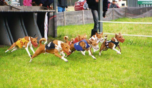 Басенджи созданы для беговых видов собачьего спорта