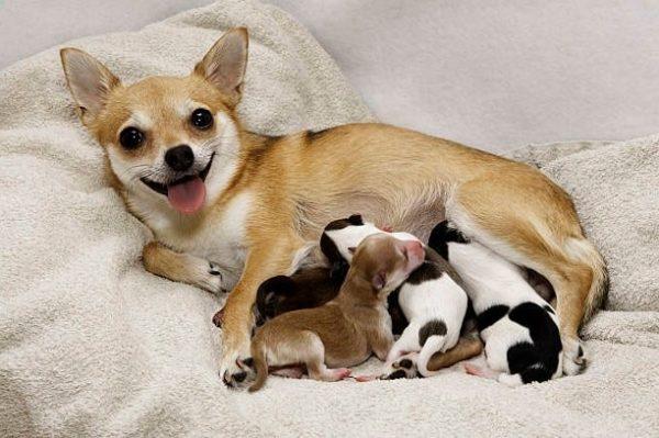 У сук, которых правильно кормят, вырастают крепкие и здоровые щенки