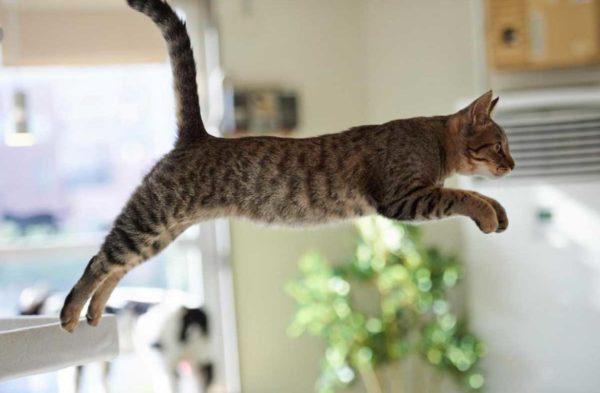 Кошка с атаксией не способна выполнить длинный красивый прыжок