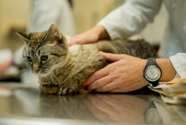 Внезапное нарушение координации у кошек Причины нарушения координации у кошек
