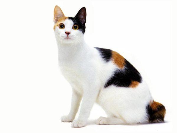 Кошка с триколор-окрасом