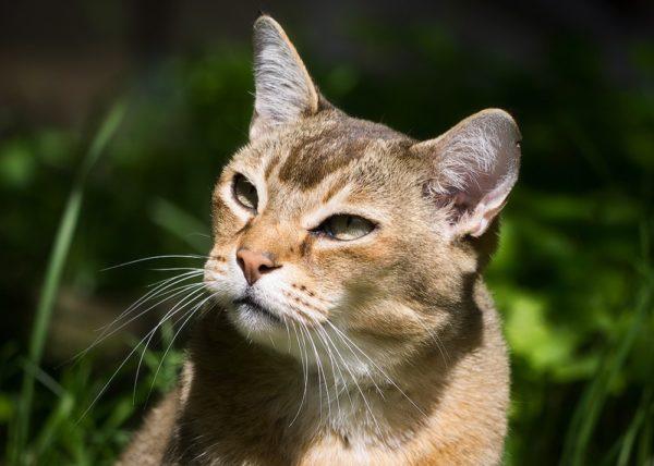 У табби всё в порядке с аппетитом и нужно следить, чтобы кошка не набрала лишний вес