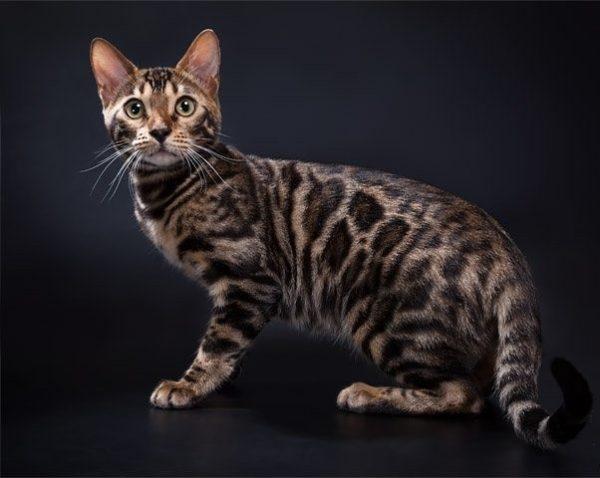 Азиатская табби – самые пёстрые из всей азиатской группы кошачьих пород