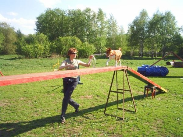 Басенджи учится преодолевать снаряд «бум»