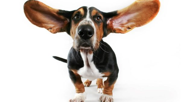 Гигиена ушей – важный момент в содержании бассета