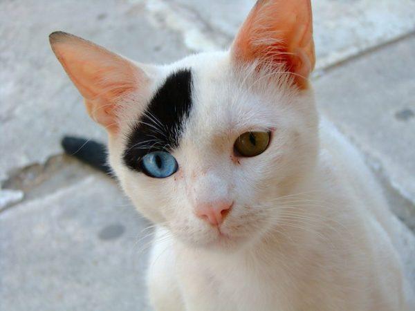 Разноглазая черно-белая кошка