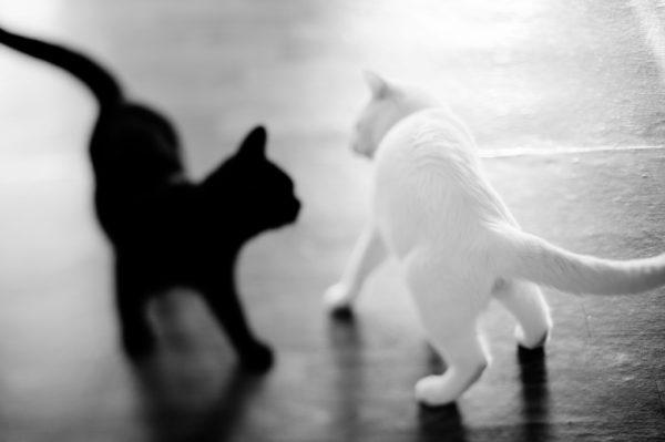 Считается, что чёрно-белые кошки «наследуют» характер чисто-белых и чёрных
