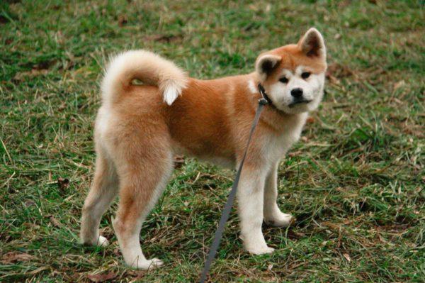 Если вы не любитель побегать и поиграть с собакой, акита-ину не для вас