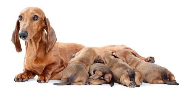 Когда щенки начинают получать прикорм, порцию матери сокращают