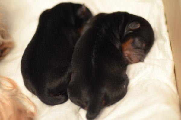 Новорожденных щенков каждый день взвешивают и фиксируют результаты для контроля