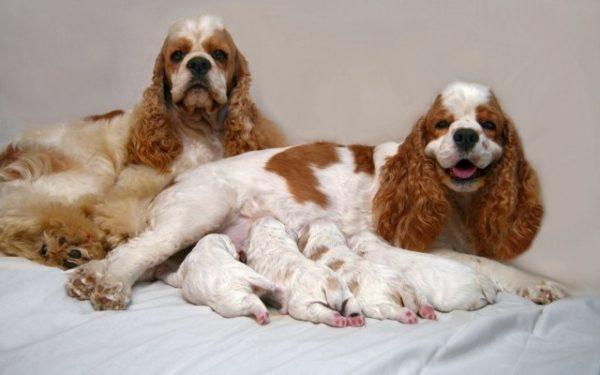 Выращивание щенков отнимает у собаки немало здоровья