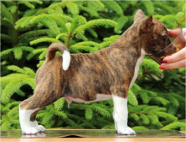 Тигровый щенок басенджи