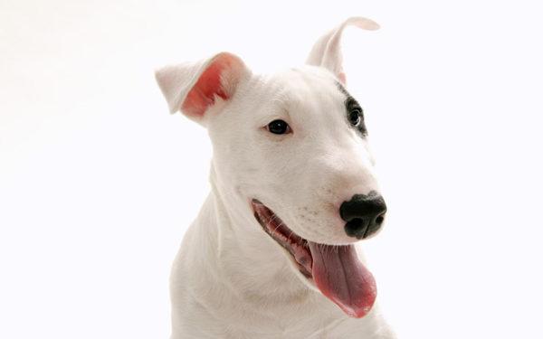 Бультерьер – разумная собака, которая поддается грамотной дрессировке