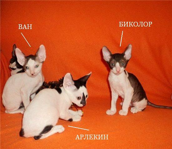 Разновидность окрасов у котят в одном помете