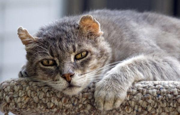 Артрит у кошек — сложно диагностируемое заболевание суставов
