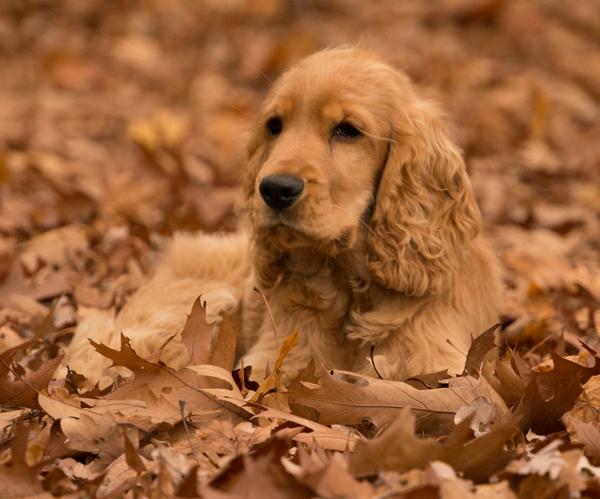 Питанию собаки, готовящейся стать мамой, уделяется особое внимание