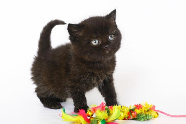 Выбирая котёнка чёрного окраса, будущий владелец должен быть уверен, что приобретает именно британца, а не похожую по фенотипу кошку