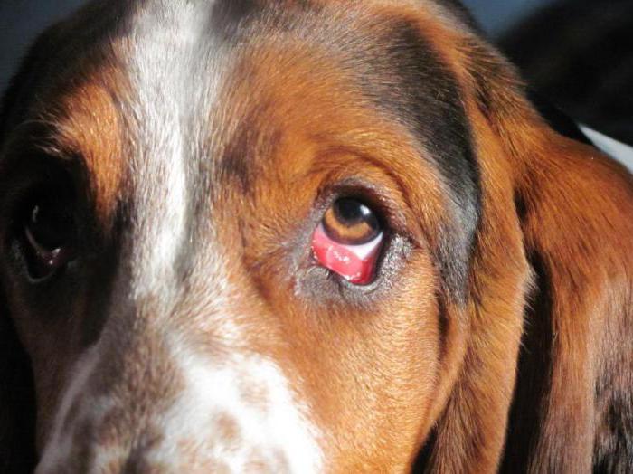 Воспаленный глаз у собаки - конъюнктивит