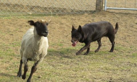 Келпи помогают фермерам с овечьими стадами