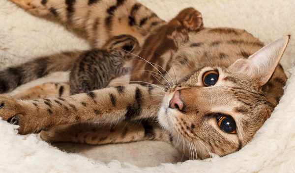 Вязка котов в домашних условиях не представляется возможной