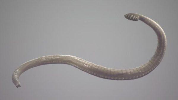 В длину червь достигает 2 см