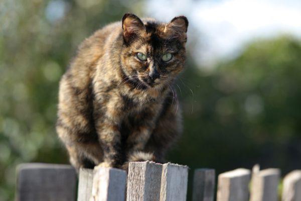 Черепаховый окрас встречается у беспородных кошек