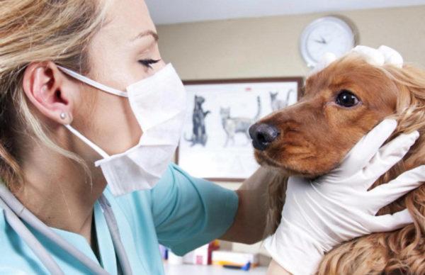 Токсокароз — болезнь, вызванная наличием аскарид в организме