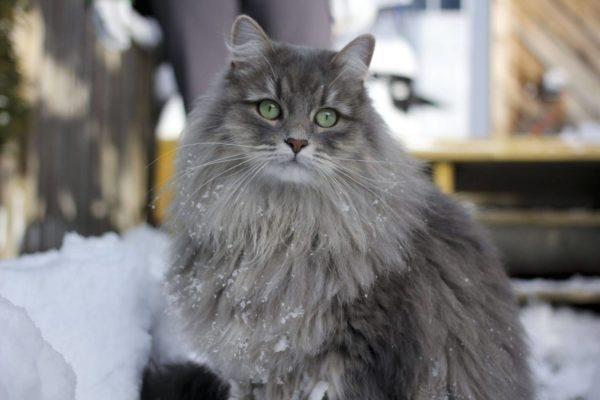 Наиболее подвержены заболеванию кошки в возрасте от 10 лет