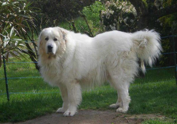 Белый цвет шерсти достался Аргентинскому догу от Пиренейской собаки