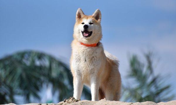 Если же вам нужна собака-охранник, не переживайте: защитить территорию от посторонних акита-ину сможет куда лучше, если получит возможность перемещения по двору