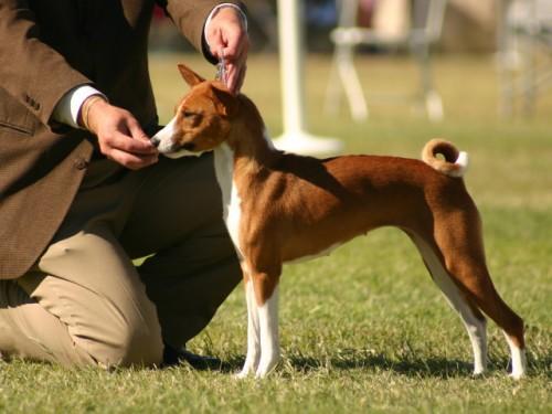 Обучать животное нужно в игровой форме, подстраиваясь под стремительность и игривость басенджи, а также не забывая о постоянном поощрении – вкусняшкой, лаской или любимой игрушкой