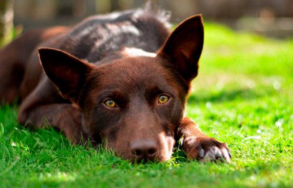 Австралийские келпи – собаки одного владельца, при этом к остальным членам семьи животные относятся дружелюбно и ласково